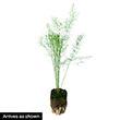 Mary Washington Improved Asparagus Plant