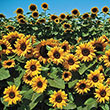 Orange Hobbit Hybrid Sunflower