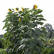 American Giant Sunflower