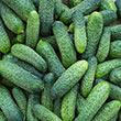 Dafne Hybrid Pickling Cucumber