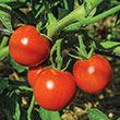 Tomato & Blossom Set Spray
