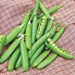 Northfield Pea Seed