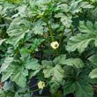 Gurney's<sup>®</sup> Gumbo Hybrid Okra Seed