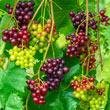 RazzMatazz<sup>®</sup> Seedless Grape Vine