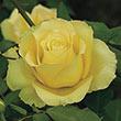 St. Patrick™ Hybrid Tea Rose