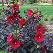Midnight Marvel Hibiscus Plant