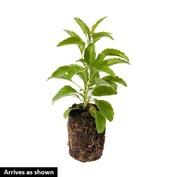 Sage Herb — Plant