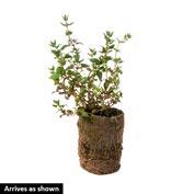 German Winter Thyme Herb — Plant