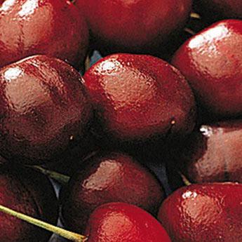 North Star Pie Cherry Tree