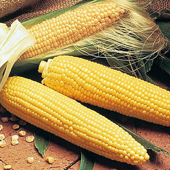 Double Delicious Hybrid Sweet Corn Seed (se)