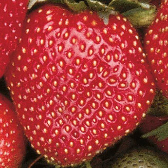 Sparkle Supreme Junebearing Strawberry Plant