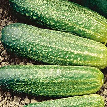 Gurney's<sup>®</sup> Burpless II Hybrid Cucumber Seed