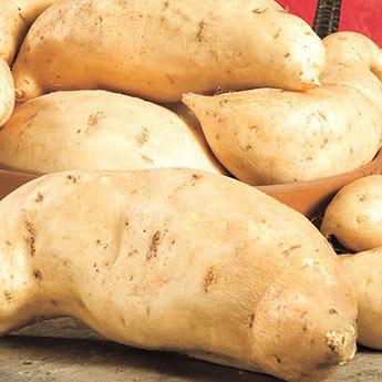 O'Henry Sweet Potato