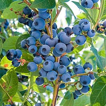 Ka-Bluey<sup>®</sup> Northern Highbush Blueberry Plant