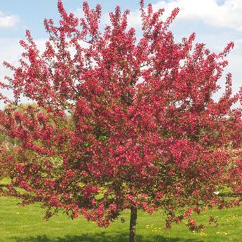 Prairie Fire Crabapple Tree