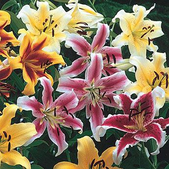 Hybrid Lily Tree<sup>®</sup> Mix
