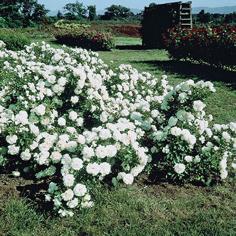 White Meidiland Groundcover Rose Gurneys Seed Nursery Co