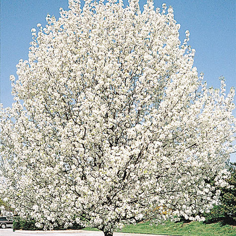 Bradford Pear Tree Pictures