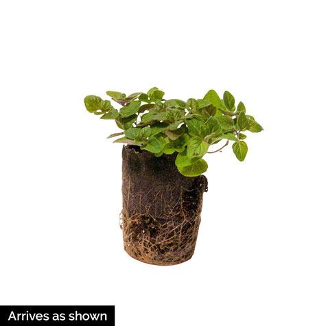 Oregano Herb — Plant