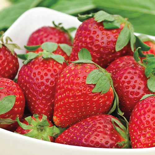 Albion Everbearing Strawberry Plant