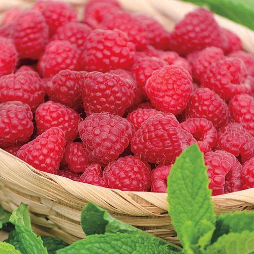 Jaclyn Raspberry Plant