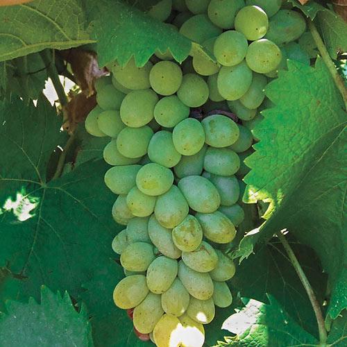 Neptune Seedless Grape Vine