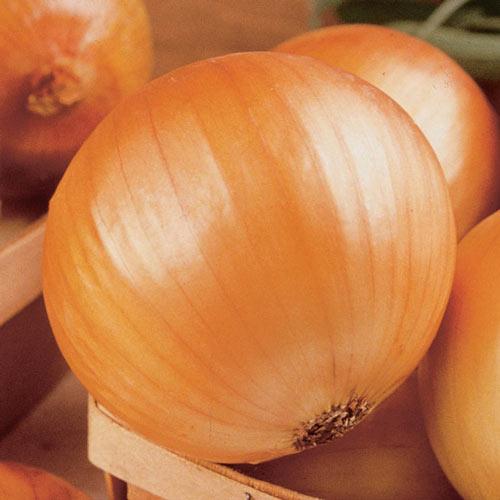 TX 1015-Y Supersweet Onion