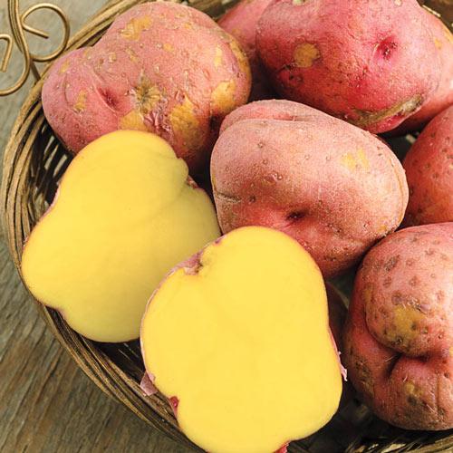Red Gold Potato