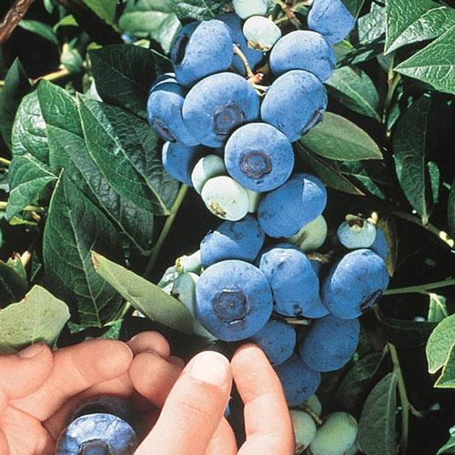Chandler Northern Highbush Blueberry Plant