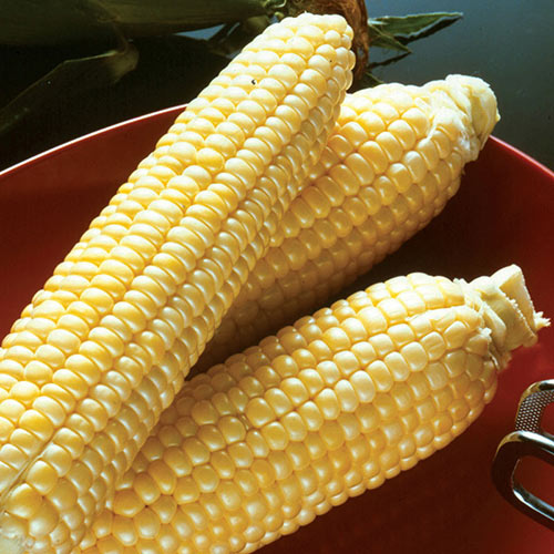 Incredible RM Hybrid Sweet Corn Seed (se)