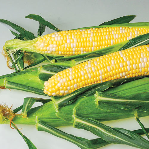 AP 426 Bicolor Hybrid Sweet Corn Seed (sh2)