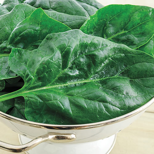 Gurney's<sup>®</sup> Goliath™ Spinach Seed