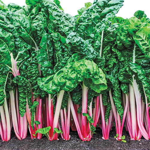 Peppermint Chard Seed