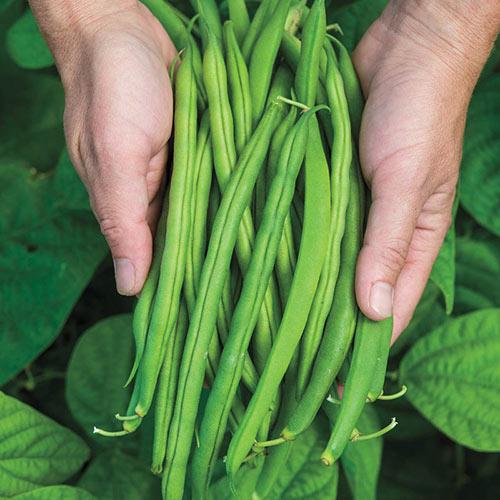 Provider Bush Bean Seed