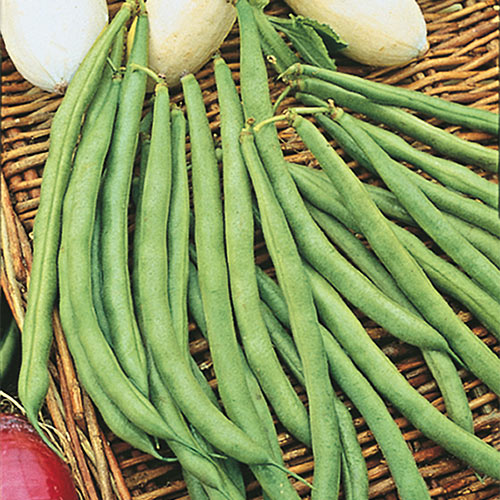 Topcrop Bush Bean Seed