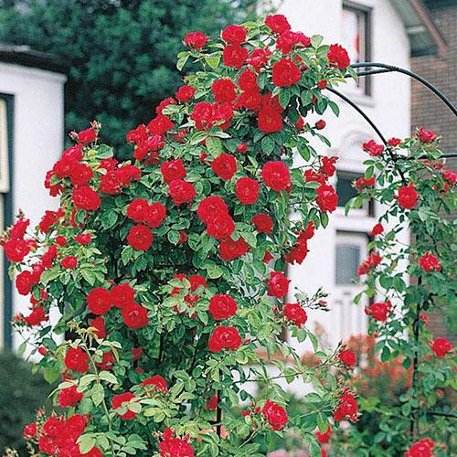 Blaze Improved Climbing Rose Plant