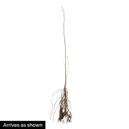 Black Tupelo Tree