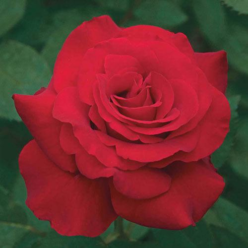 Opening Night™ Hybrid Tea Rose