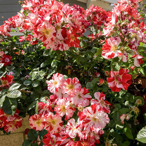 Fourth Of July™ Climbing Rose Plant