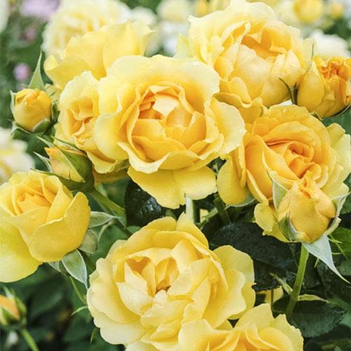 Julia Child Floribunda Rose Plant