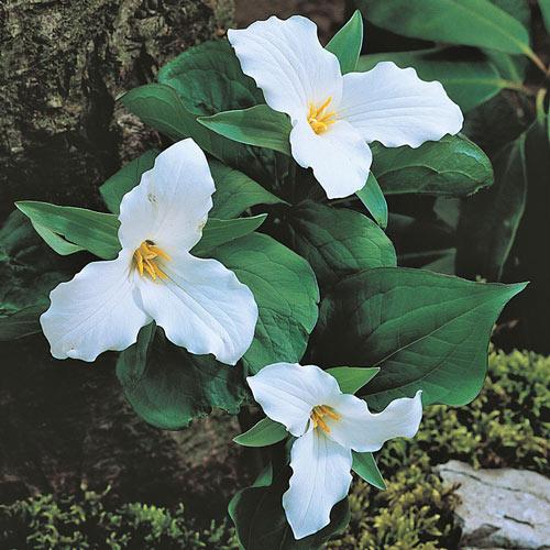 Great White Trillium Plant