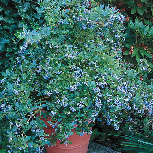 Sunshine Blue Southern Highbush Blueberry Plant