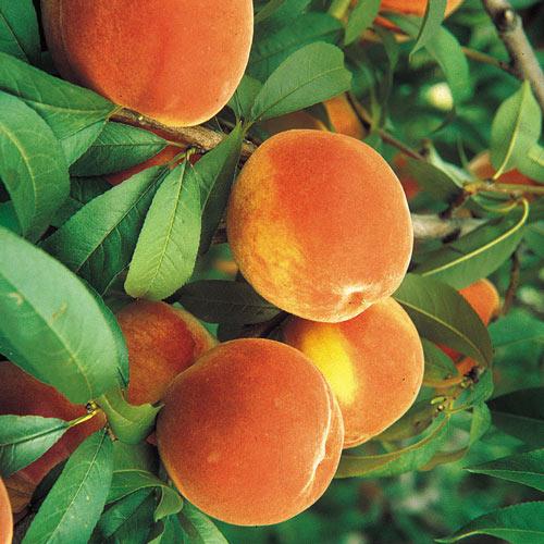 Flordaking Peach Tree