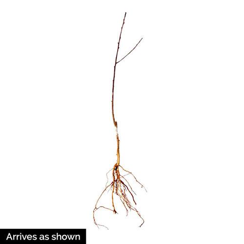Karla Rose Nectarine Tree