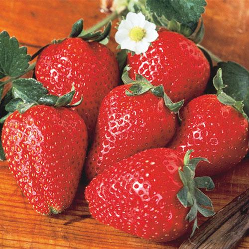 Tristar (Everbearer) Strawberry
