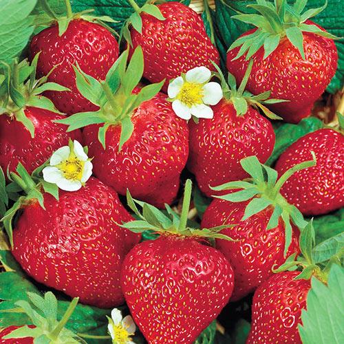 Chandler Junebearing Strawberry Plant