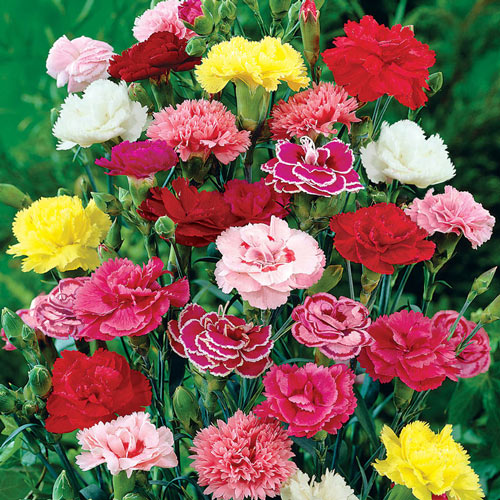 Mixed Hardy Carnation Plant