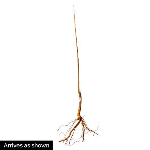Superior Plum Tree
