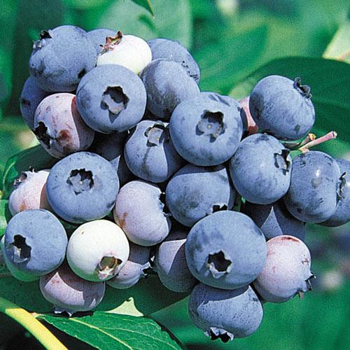 Jersey Northern Highbush Blueberry Plant