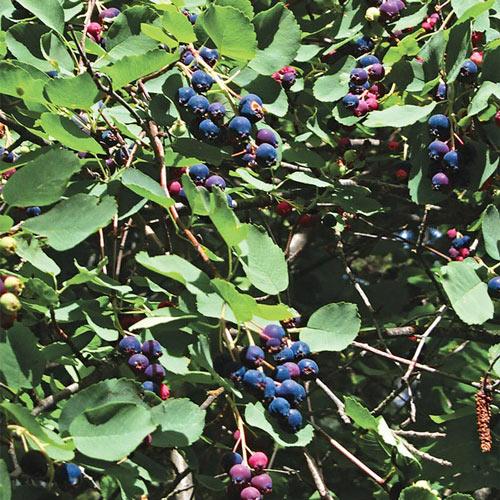 Saskatoon Blueberry Plant